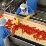 pomodoro-lavorazione